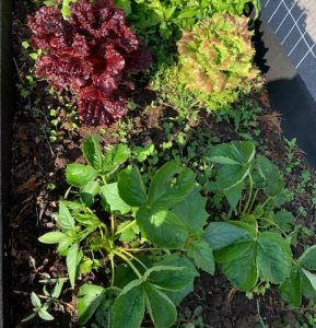 Lettuce and strawberry plants